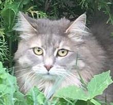 Пропала кошка метис