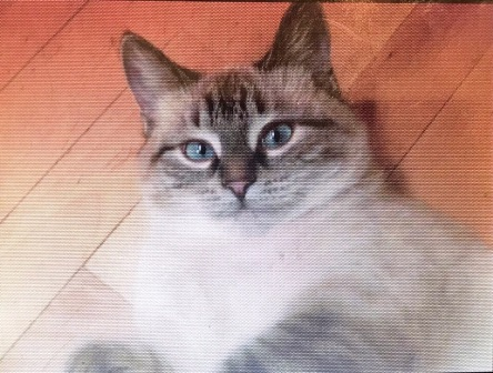 Пропала кошка метис сиамской