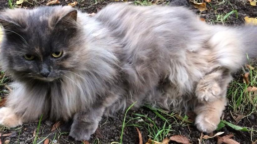 Пропала кошка метис перса