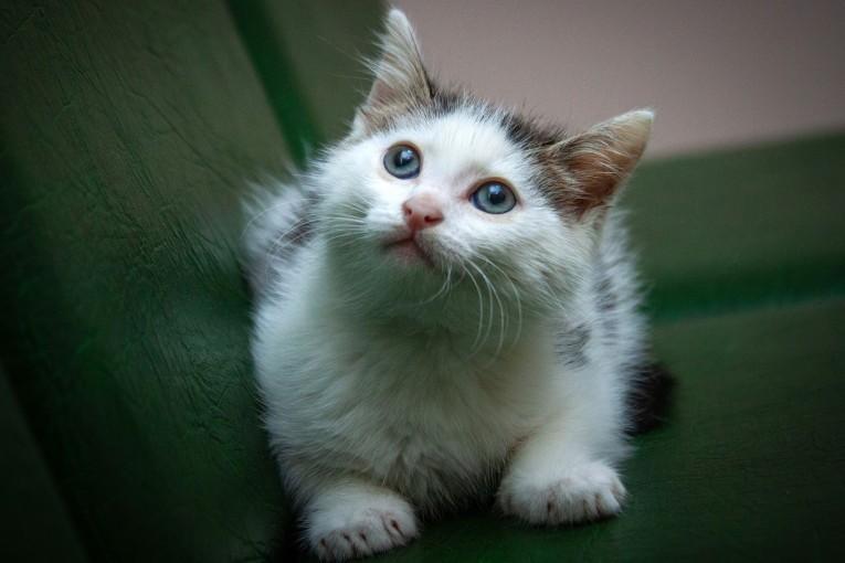 Маленький голубоглазый кошачий ангел Скайрим ищет свою идеальную, любящую семью! 1