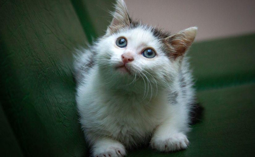 Маленький голубоглазый кошачий ангел Скайрим ищет свою идеальную, любящую семью!