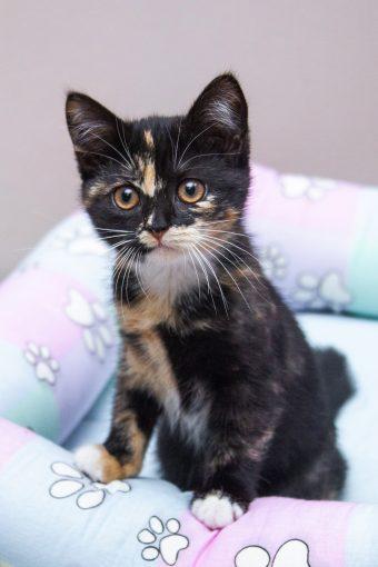 Трехцветная котенка Зюзюка живописного окраса ищет свою идеальную семью!