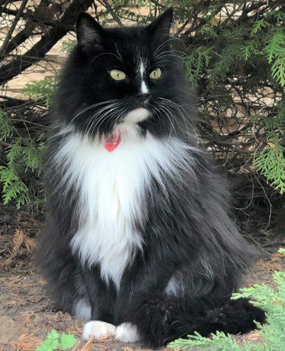 Кот пушистый черно-белый Ватутинки