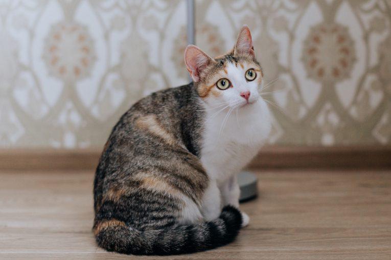 Трехцветная кошка Луша ищет дом